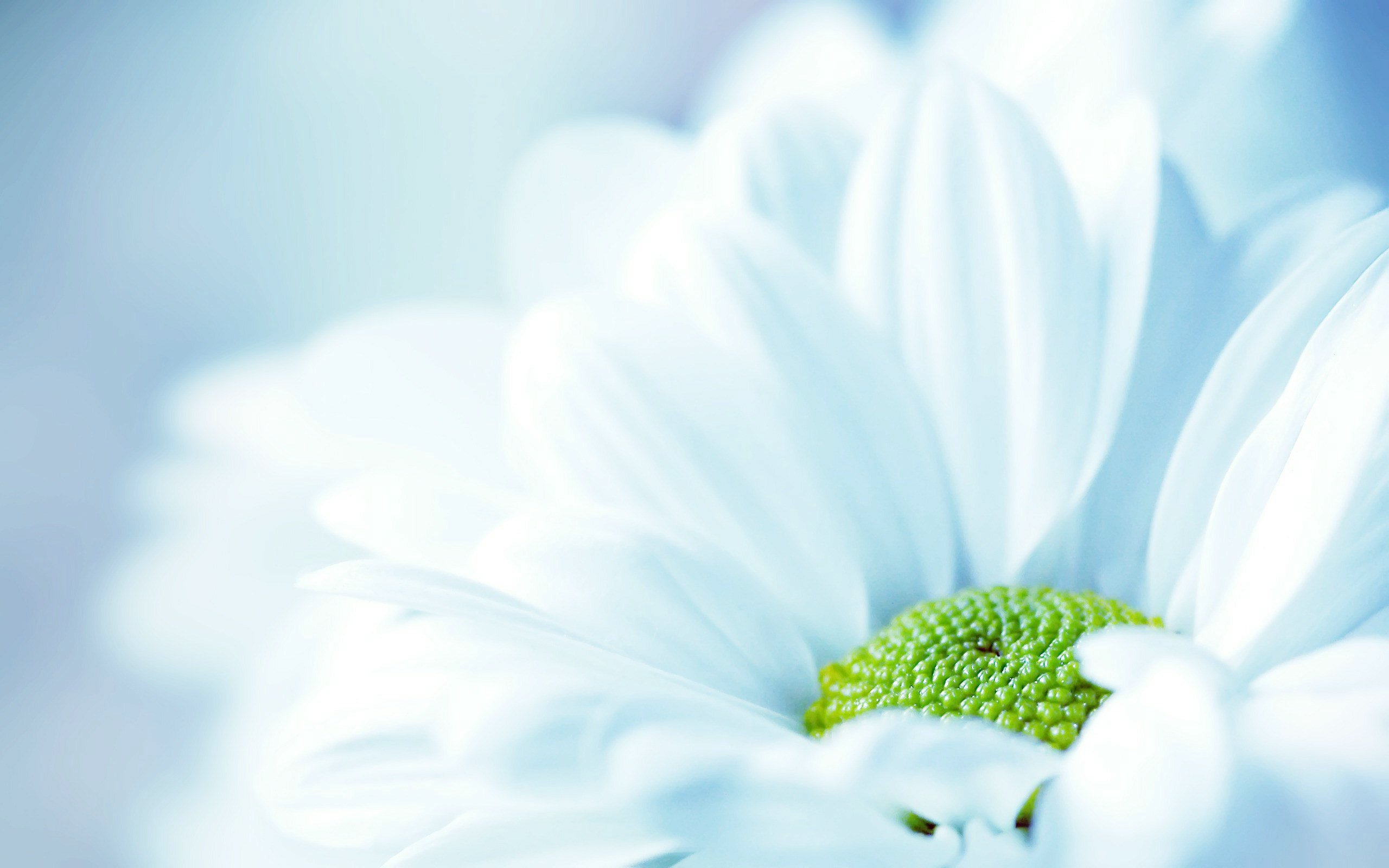 fresh_white_flower-wide